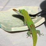甘いものを見つけたGecko