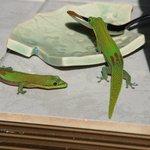 甘いものを見つけたGecko2