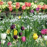 Tulips and other Spring beauties in Terrace Garden