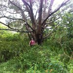 A tree in one of a few clearings past the point where u can see the panoramic view on the crazy