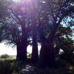 Baine's Baobab