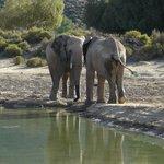 Elephants giving themselves a bath