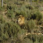 King of the jungle....lion