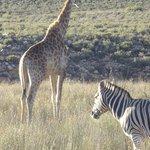 Giraffe and zebra hanging around