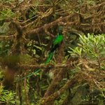 Resplendent Quetzal (from a distance)