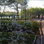 Московская сакура в цвету