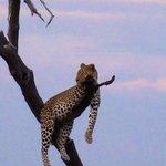 Fabuleux leopard