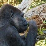 Gorilla's breakfast