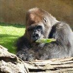 Gorilla's snack!