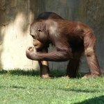 Orangutan grabbing nuts