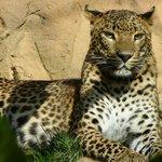 Proud Leopard