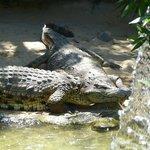 Crocodiles taking sun