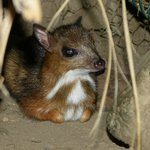 Baby Mouse Deer (Tragulidae)
