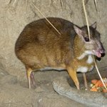 Mouse Deer (Tragulidae)
