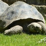 Galapagos giant tortoisel