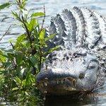 Alligator- Cajun Swamp Tours