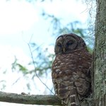 Owl - Cajun Swamp Tours