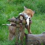 Fox feeding time