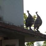 Peacocks on the roof