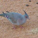 Tufty pigeon