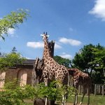 elegant giraffes