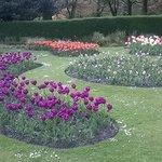 tulip garden Stamford Park