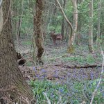 Stag and bluebells in Langshott Wood