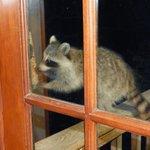 A raccoon helping himself to the bird feeder.