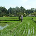 Grandfather walking through rice fields