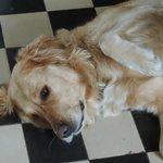 Adeline's beautiful Golden Retriever