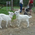 Just loved the baby goats!