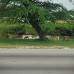In the states, we have dogs or geese or something like that, in Jamaica they have goats everywhe