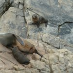Seal pups at Cape du Couedic