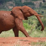 Red Sand Elephant