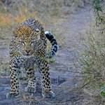 The Leopards of Londolozi out scenting