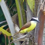 Great Kiskadee on Turtle Beach Tortuguero