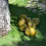 Fresh coconuts for Fijian BBQ