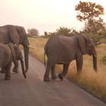 Elephants Crossing the Road