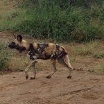 one of the wild dogs