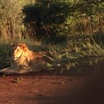 a lion that Benson found for us, we were about 1m away