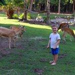Free roaming deer