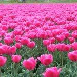 tulipani in zona