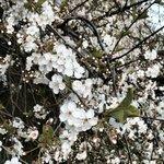 Цветущие деревья в парке Коломенское