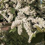 Цветущая черёмуха в парке