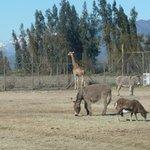 El el recorrido para ver a los otros animales que no son los Leones
