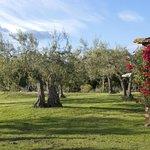 Panoramica su olivi