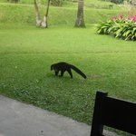Coati by our dining table