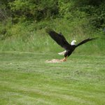 Bald Eagle feeding each day at 5:00 pm nearby