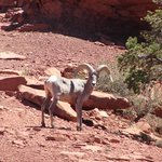 Long Horn Sheep - a rare site in the Canyon