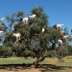 goats in trees...seriously!